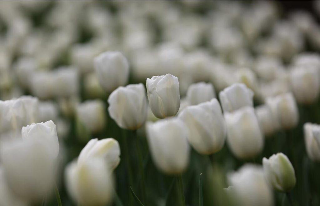 南京中山植物园:郁金香,花开正当时