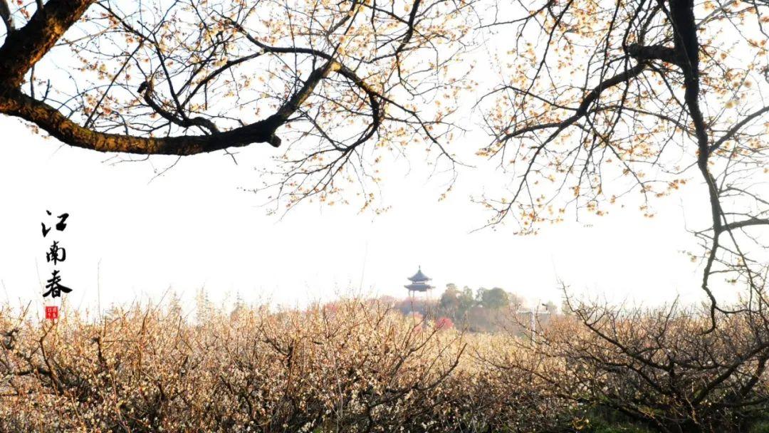 """溧水""""梅""""景引人入胜!720°""""云游""""花海,每一帧都是绝美画卷!"""