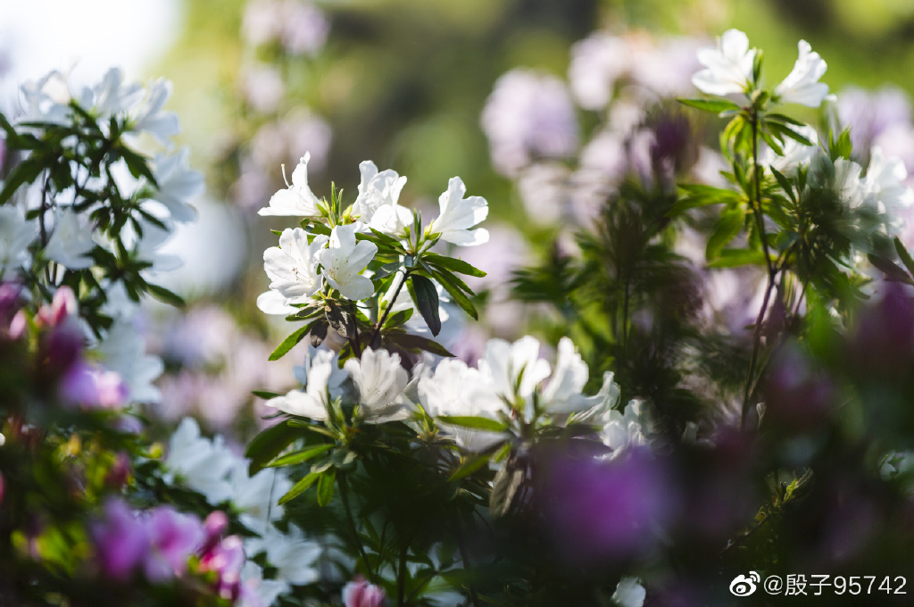 南京情侣园 杜鹃花