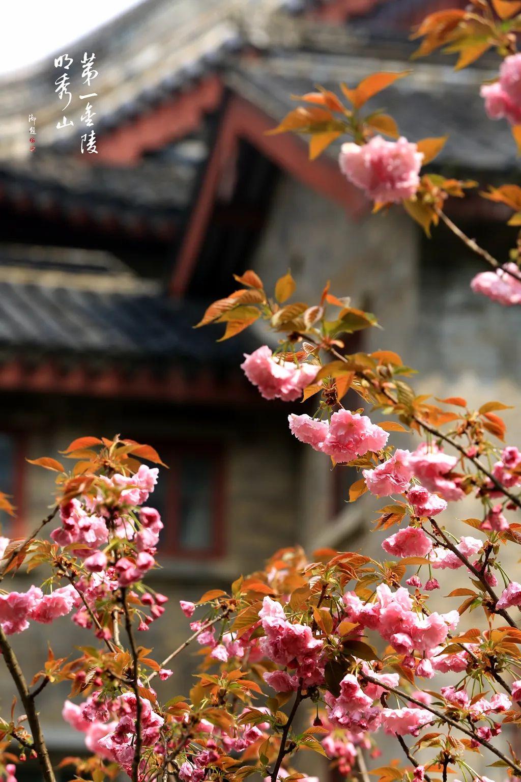 是心动啊!栖霞山的春色躲不掉