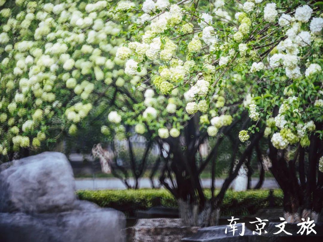 已是人间四月天,南京这座雅致公园花事正当时!