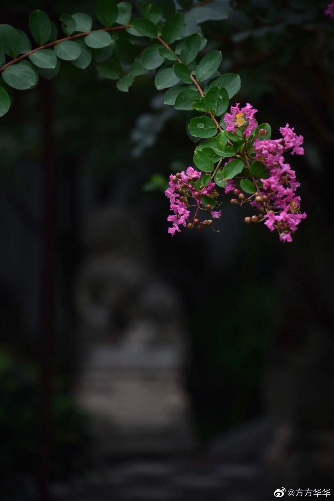 紫薇开了,等你来!