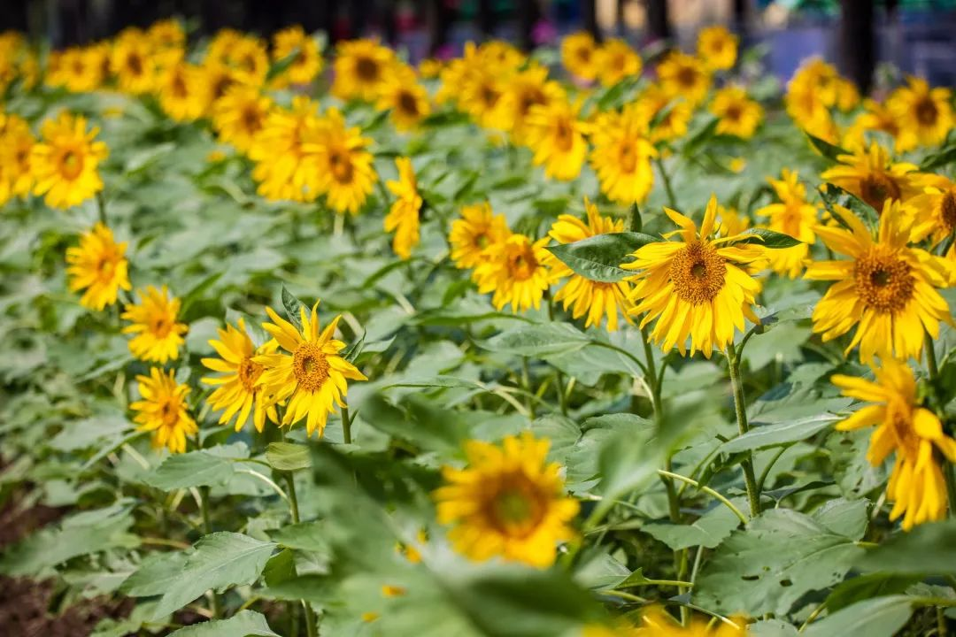 向日葵开啦,赏花拍照走起!