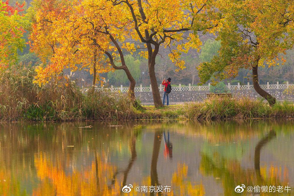 那一抹金黄与南京城的邂逅