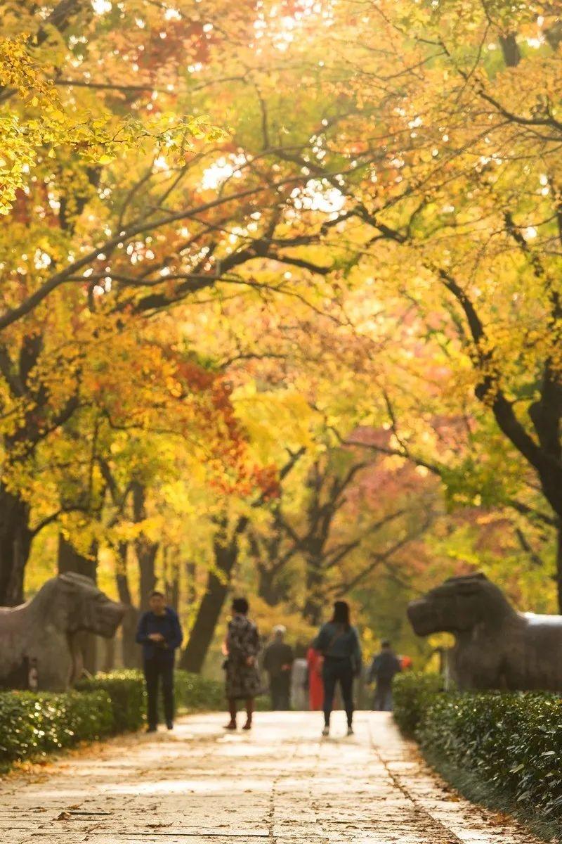 """金陵秋景:42 处落叶观赏点,留住南京""""醉""""美秋色!"""