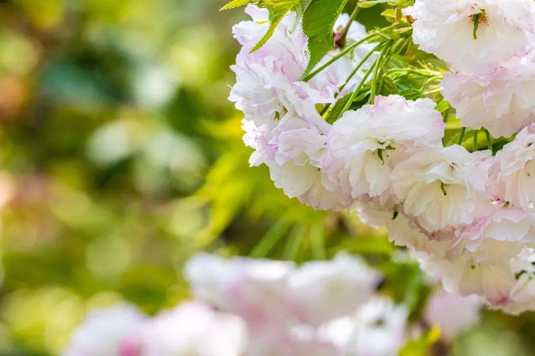 """""""国宝级""""绿色的樱花开了!"""