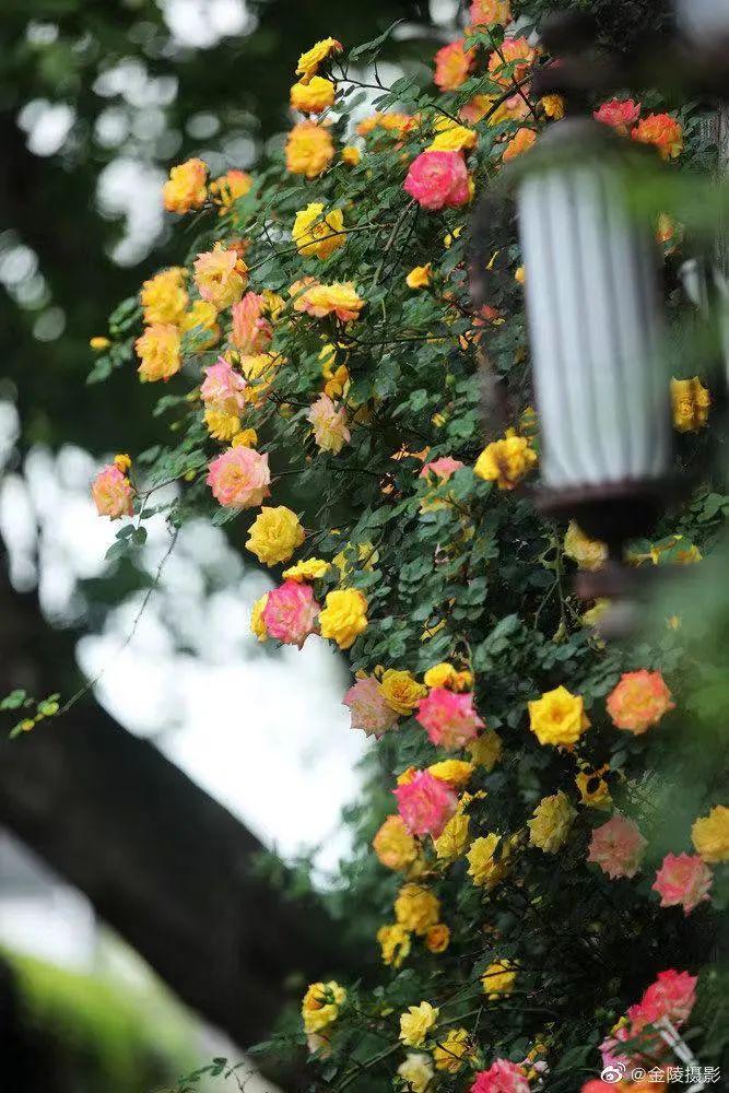 """全城蔷薇开!这波免费的""""网红花墙""""成街拍好去处!"""